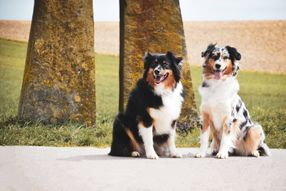 Willkommen! | Spirit of Eternity Australian Shepherds
