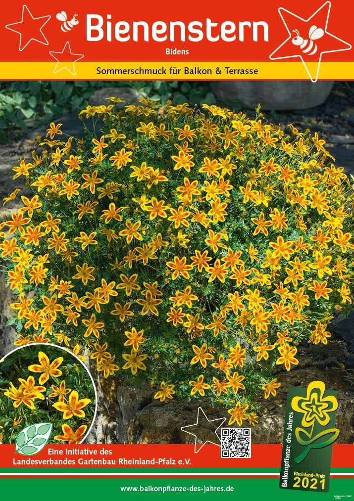Balkonpflanze des Jahres 2021Bidens Bienenstern