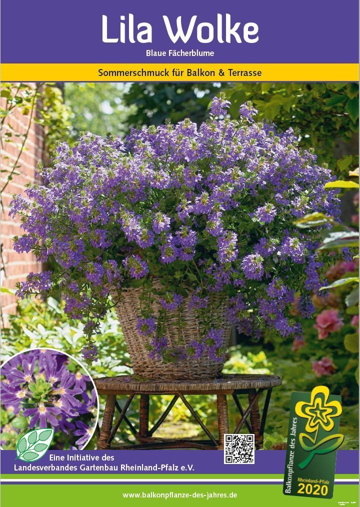 Lila Wolke – Balkonpflanze des Jahres 2020
