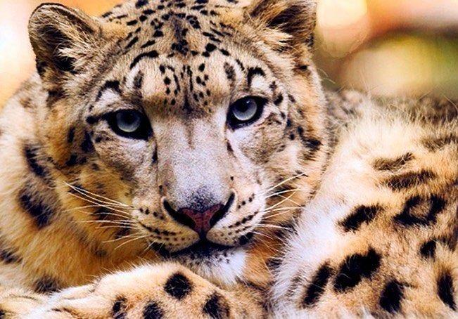 Leoparden-Trainining - Leoparden (Grundschule)