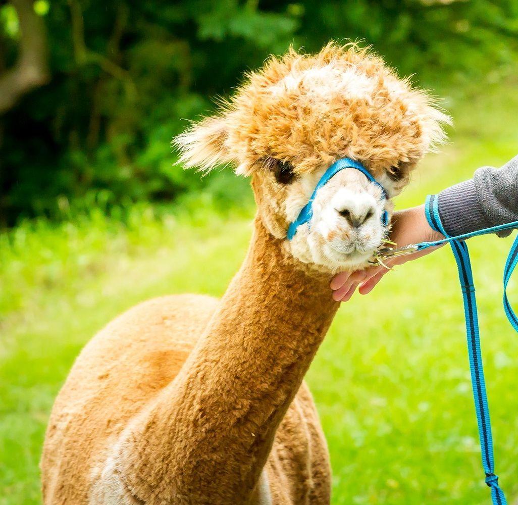Unsere Tiere | Alpakas Gehrden